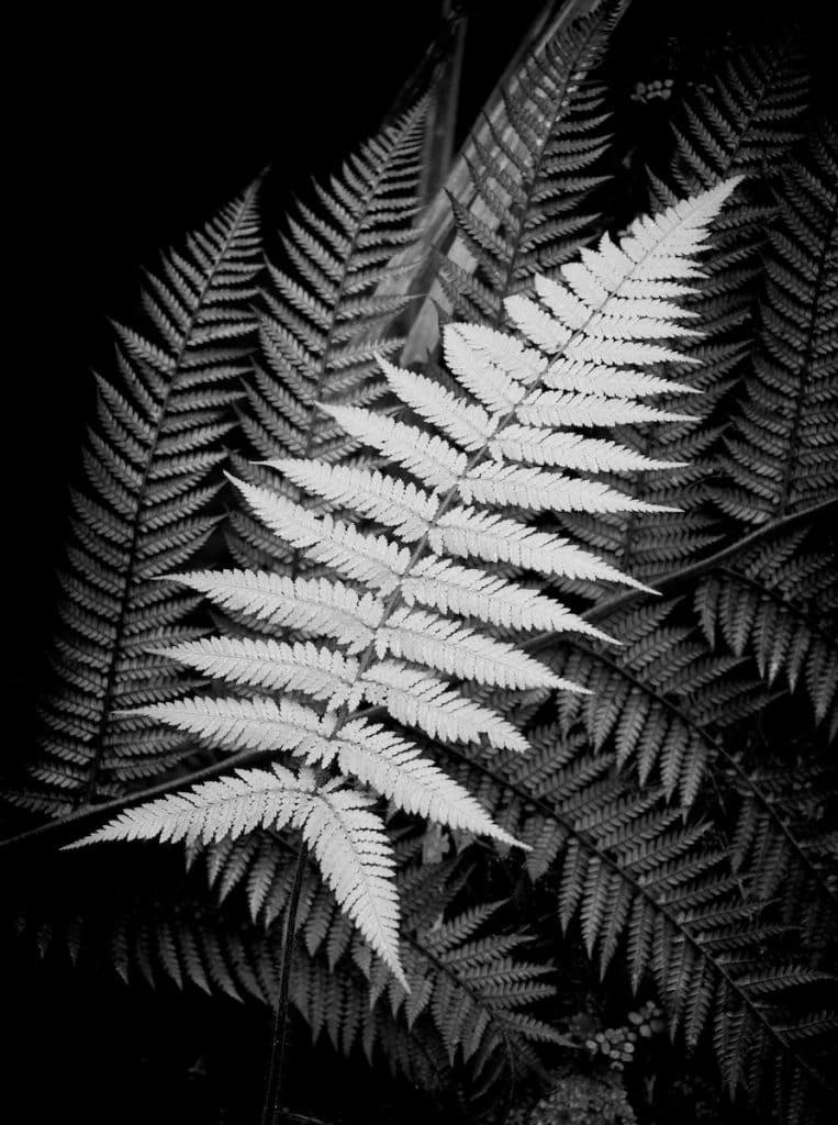 Ori black and white fern